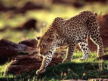 Animal Wallpapers Animals Desktop Wild Cheetah Funny