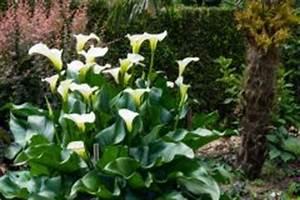 Calla Pflanze Giftig : ist die calla winterhart so berwintern sie sie richtig ~ Frokenaadalensverden.com Haus und Dekorationen