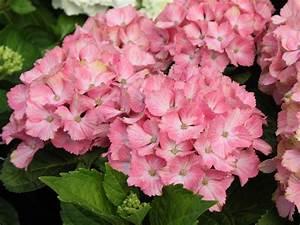 Hydrangea Macrophylla Winterhart : ballhortensie forever ever 39 fantasia 39 hydrangea ~ Michelbontemps.com Haus und Dekorationen
