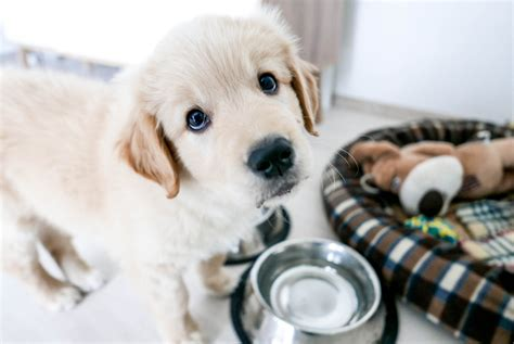top   large breed puppy foods  buy   canine