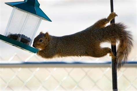 keeping squirrels out of your bird feeder thriftyfun