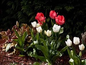Tulpen Im Garten : quelques tulipes au jardin einige tulpen im garten ~ A.2002-acura-tl-radio.info Haus und Dekorationen