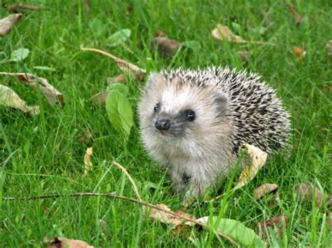 Sweet Animals Wallpaper - sweet hedgehog other animals background wallpapers on