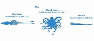 Giant Squid Size Comparison Whale