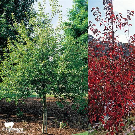 ornamental tree sun ornamental pear manchurian pear perth wa online garden centre