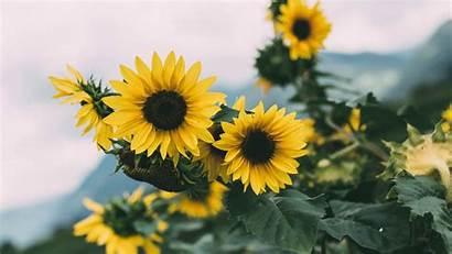 Sunflower Yellow Flowers Plant 1080p 4k Bloom