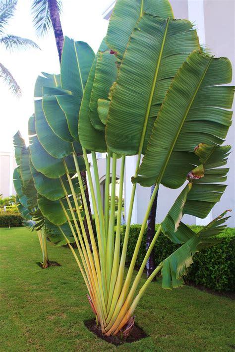 tropical landscaping trees traveler palm pinteres