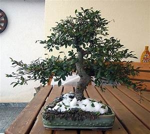 Zitronenbaum Gelbe Blätter : bonsai verliert bl tter bonsai verliert bl tter was ist ~ Lizthompson.info Haus und Dekorationen