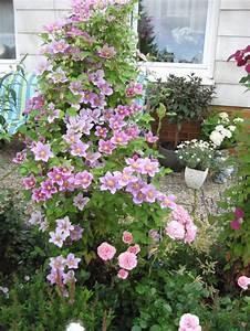 Clematis Pflanzen Kübel : clematis 39 piilu 39 clematis 39 piilu 39 baumschule horstmann ~ Orissabook.com Haus und Dekorationen