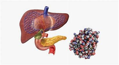 Digestive Liver Tract Enzymes Stones Bile Ducts