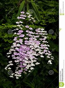 Ionopsis Orchid Stock Image  Image Of Bright  Background