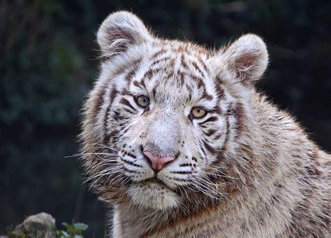 tigre blanco wikipedia la enciclopedia libre