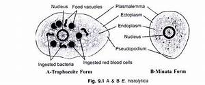 The Structure And Life Cycle Of Entamoeba  With Diagram