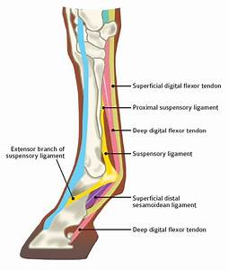 New Research On Aging Equine Tendons Provides Clues About