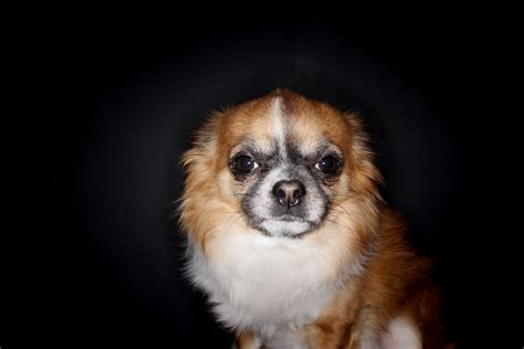 images vertebrate chihuahua dog breed pekingese