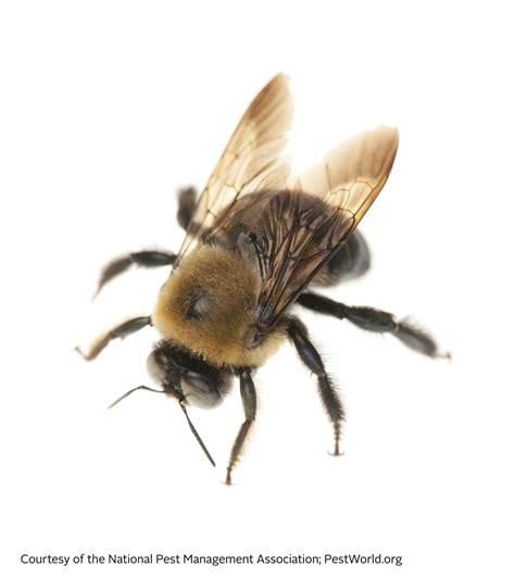 bee information  kids bumblebee honey bee facts