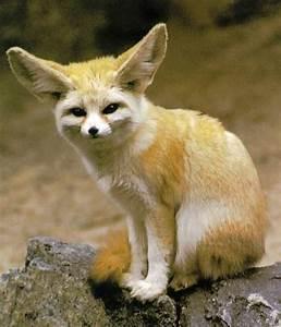 Fennec Fox | Wildlife | The Wildlife