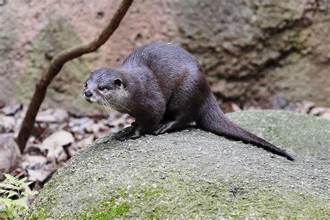 Asian Smallclawed Otter Wikipedia