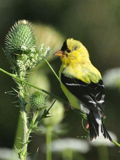 goldfinch love thistle birds pinterest goldfinch