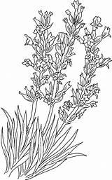 Lavender Coloring Pages Flower Colouring Implantation Adult Colornimbus Print Simple Farm Sweet Printable Fall Picolour Lavandula sketch template