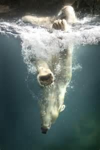 Diving Polar Bear Animal