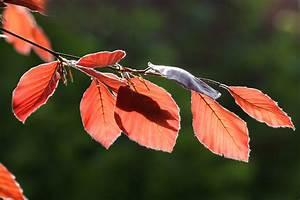 Wann Müssen Apfelbäume Geschnitten Werden : rotbuchenhecke wann sollten sie sie schneiden ~ Lizthompson.info Haus und Dekorationen