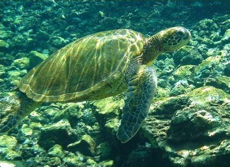 penyu hijau green sea turtle chelonia mydas coretan