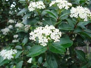 Laurier Tin : viburnum tinus plant id hcp ~ Mglfilm.com Idées de Décoration