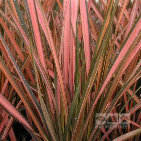 new zealand flax phormium pink panther new zealand flax mail order trees