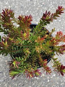 Leucadendron Salignum  U0026 39 Winter Red U0026 39