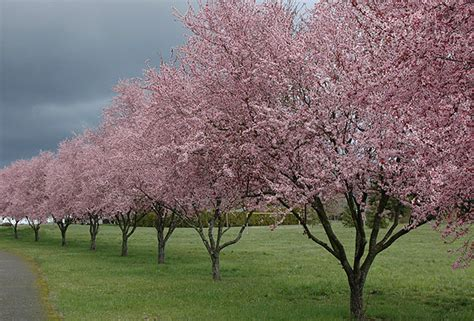 thundercloud purple leaf plum thundercloud flowering plum oregon state univ landscape plants