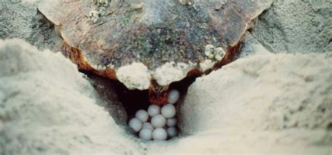 sea turtle reproduction gulf islands national seashore