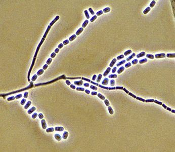 geotrichum species  infobit