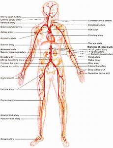 Blood Vessels   Great Diagrams