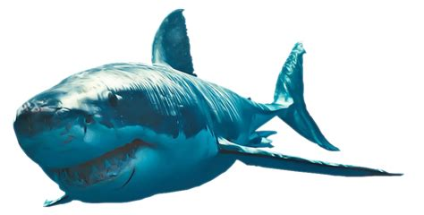 Great White Shark Hd Hd Wallpaper Png Wallpapersafari