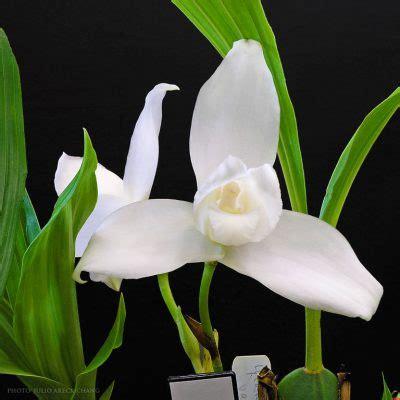 la monja blanca flor nacional de guatemala aprende guatemala