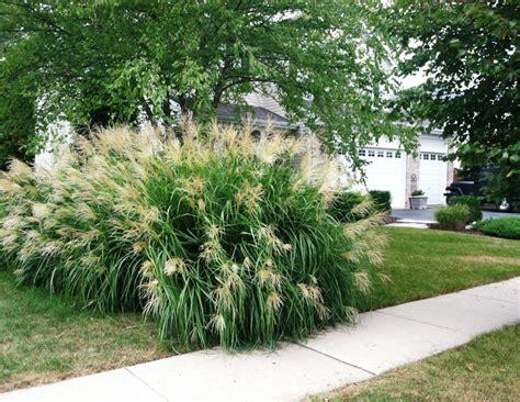transplanting ornamental grass grass with an attitude minnesota transplant