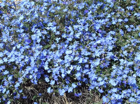 blue flower ground cover plants free stock photos rgbstock free stock images blue carpeting tacluda april 02 2010 23