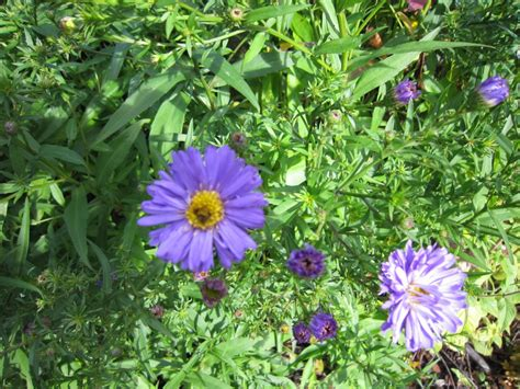 when to divide asters rudbeckia fulgida var deamii aster dumosus sapphire