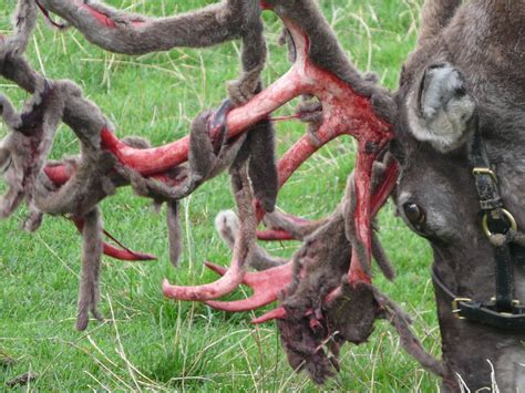 Deer Shedding Velvet Bleeding by Reindeer 187 Cricket St Gallery