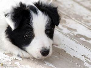 Sad puppy Border Collie wallpapers and images - wallpapers ...
