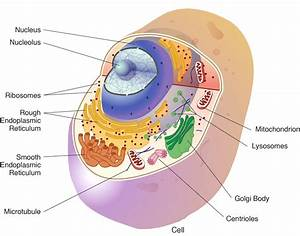 Diagram  Cell Organelles Diagram