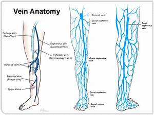 Lower Extremity Venous Anatomy Dallas  Tx