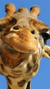 Giraffe Funny Animal Iphone Wallpapers Wallpaper And Cases