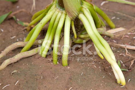 maize root stock  freeimagescom
