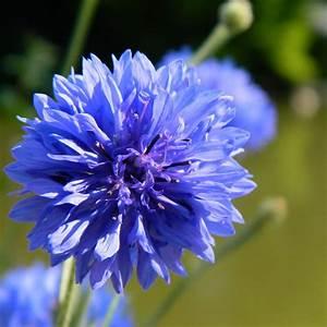 Cornflower Blue Photograph by Sharon Lisa Clarke