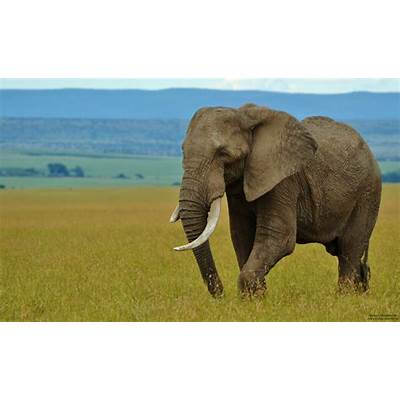 1000  images about Culture/Animals: Africa/Elephants on