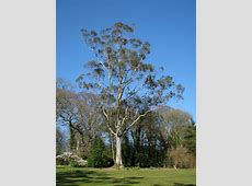 Eucalyptus, Mount Stewart © Rossographer Geograph Ireland