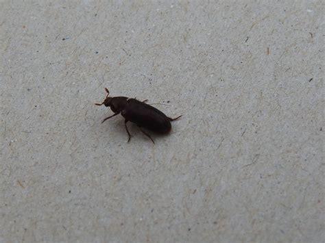 treating black larder beetles