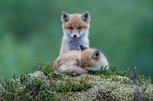 Baby red foxes, cute. | Animals n stuff | Pinterest